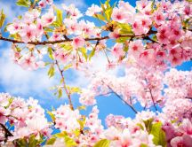 Wonderful cherry tree blossom flowers -Spring season perfume