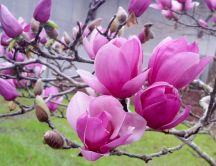 Beautiful big petals of Magnolia flower - HD wallpaper