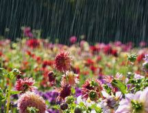 Garden full with flowers - Summer rain wallpaper
