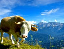 Big cow on the top of the mountain - Fresh green grass food