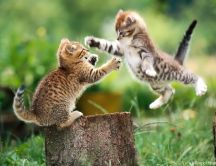 Funny cat fight between two little kitties - HD wallpaper