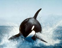 Whale jump in the ocean water - HD see animal wallpaper