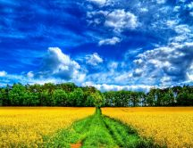 Yellow field and a wonderful blue sky - HD wallpaper