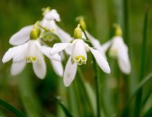 Snowdrops flower spring season time - HD wallpaper