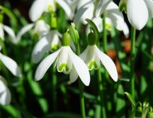 Sunny spring day - Snowdrops flowers in the garden