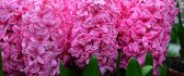 Wonderful pink color for beautiful perfumed hyacinths