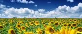 Wondeful sunflowers field - summer vibes HD wallpaper