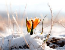 Yellow spring flower wake up from cold white snow