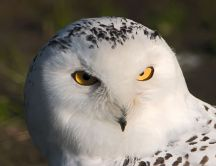 Wonderful big white Owl bird - Intelligent and smart animal