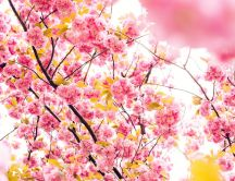 Cherry pink blossom tree - HD wallpaper
