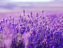 Wonderful purple Lavender flowers - Macro wallpaper perfume