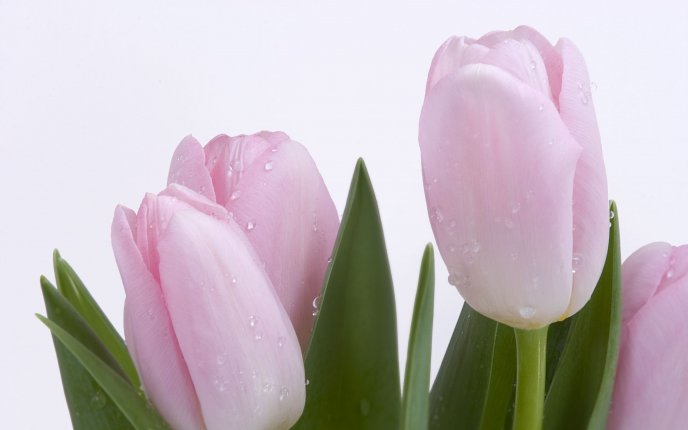 Beautiful pink tulips - flower