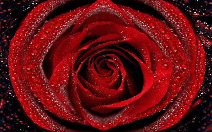 Red rose with velvet petals full of water
