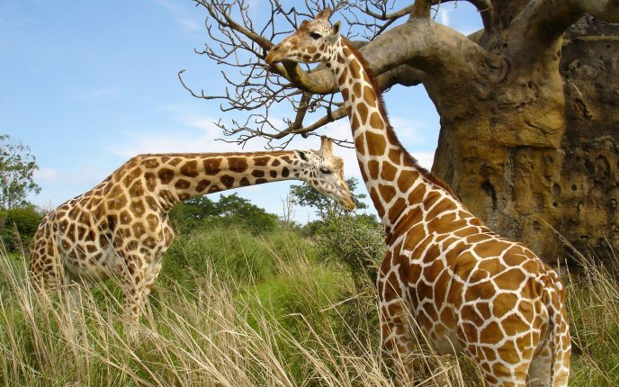 Two giraffes in nature HD wallpaper