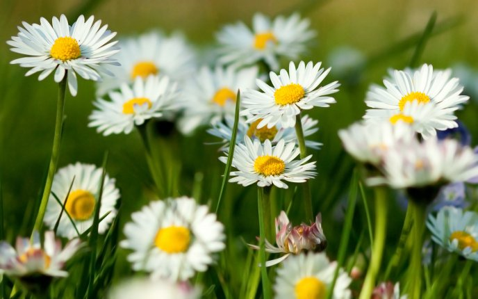 Field with spring flowers - Daisy flowers