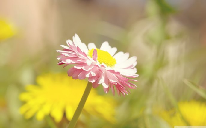 Beautiful Daisy flower - summer flower