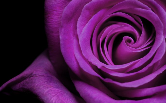 Beautiful purple rose - velvet petals