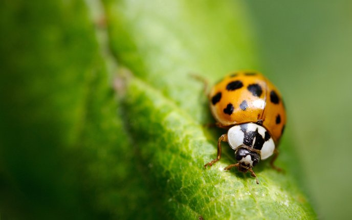 Little ladybug on a big green leaf - macro wallpaper