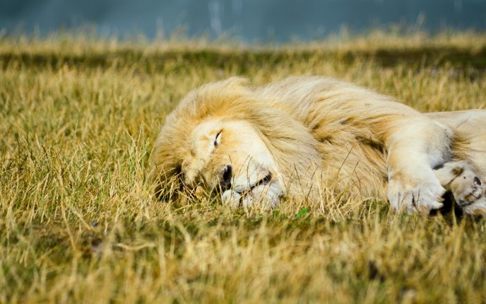 Lion sleeping in the jungle HD wallpaper
