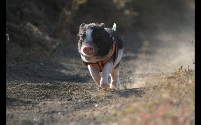 Cute small pig running on the path