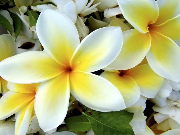 Beautiful tropical flower - Plumeria HD wallpaper