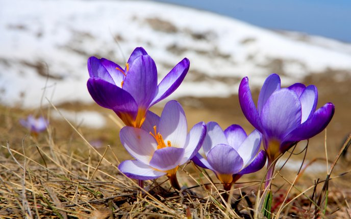 Crocuses just emerged from the snow - spring HD wallpaper