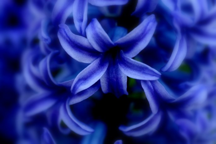 All blue - beautiful spring flower