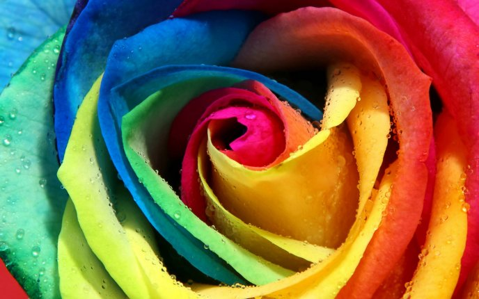 Colorful rose petals - Macro HD wallpaper