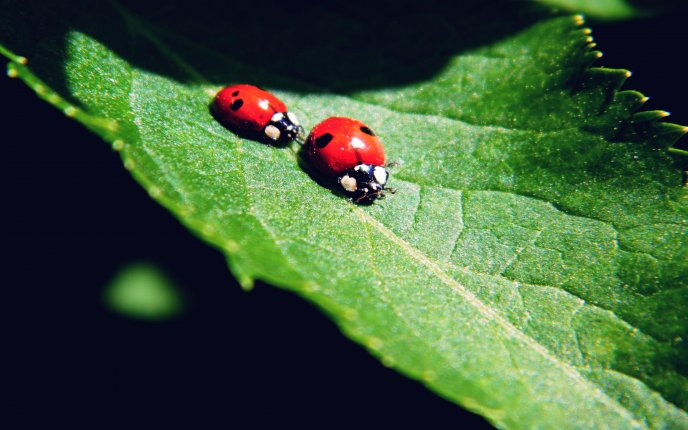Competition between ladybugs - HD wallpaper