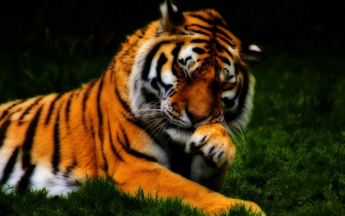 Beautiful Tiger A Shy Wild Animal