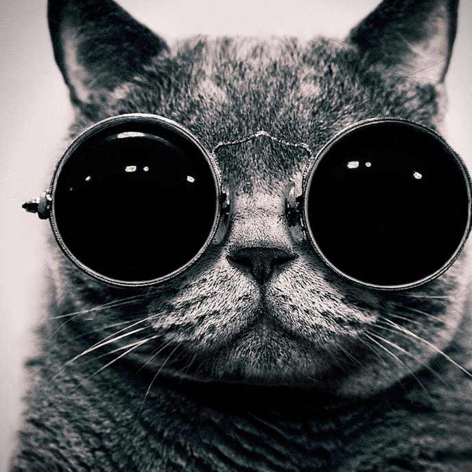 Download wallpaper big glasses for a cat black and white hd wallpaper