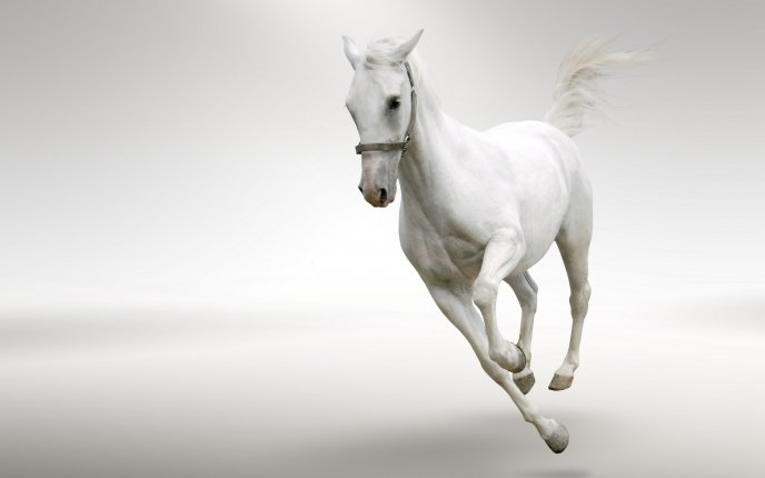 Beautiful white horse running in a white room
