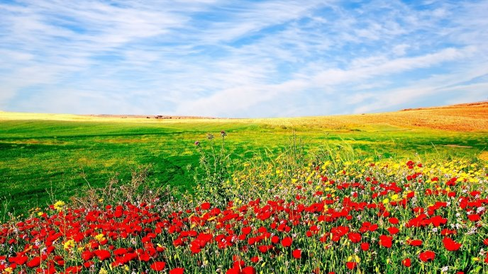 Poppy field and a beautiful blue sky