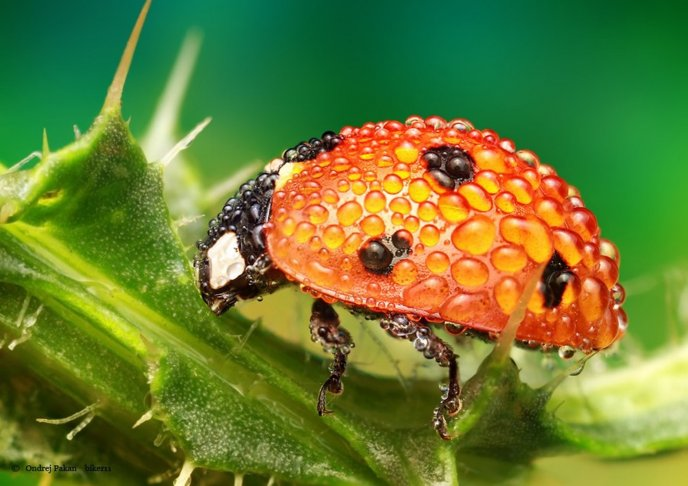 Ladybug full with water drops - macro insect