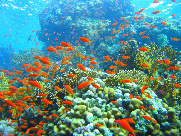 Download Wallpaper Coral Reef And Hundred Orange Fish