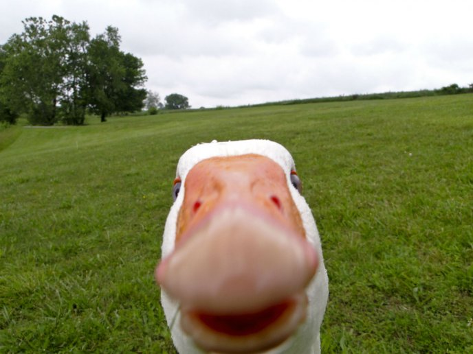 Goose face - funny HD wallpaper
