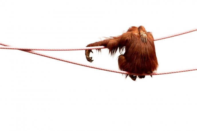 Big monkey sitting alone on a wire - funny HD wallpaper