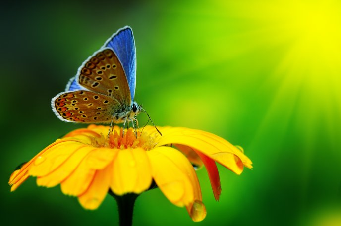 Download Wallpaper Blue Butterfly On A Yellow Flower