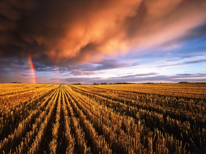 Beautiful rainbow over a golden field - HD wallpaper