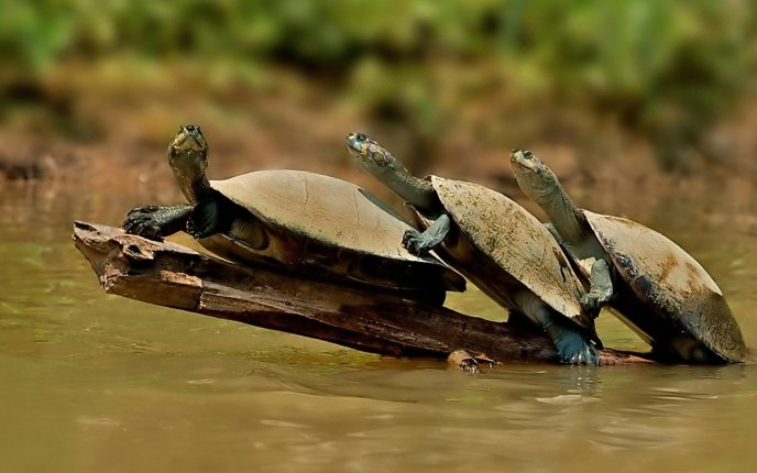 Download Wallpaper A Family Of Turtles In The Water
