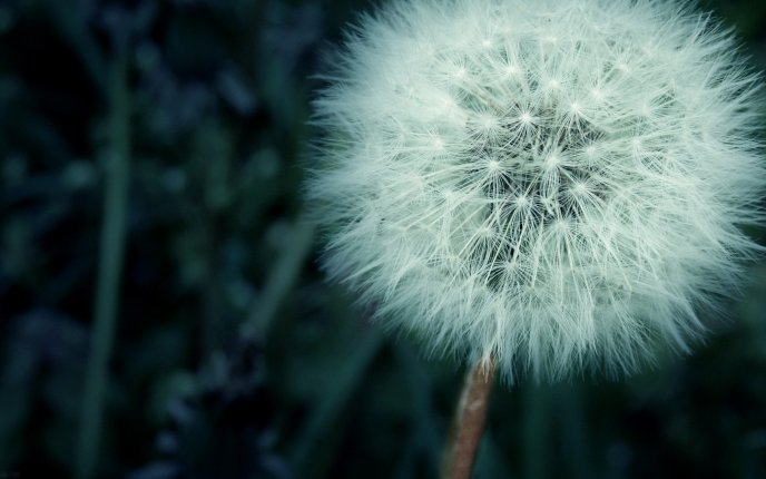 Perfect dandelion fluff - beautiful spring flower