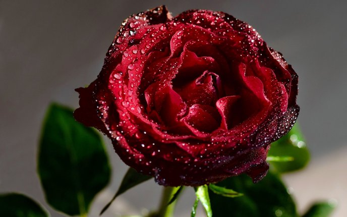 Perfect red rose full with fresh water drops - HD wallpaper