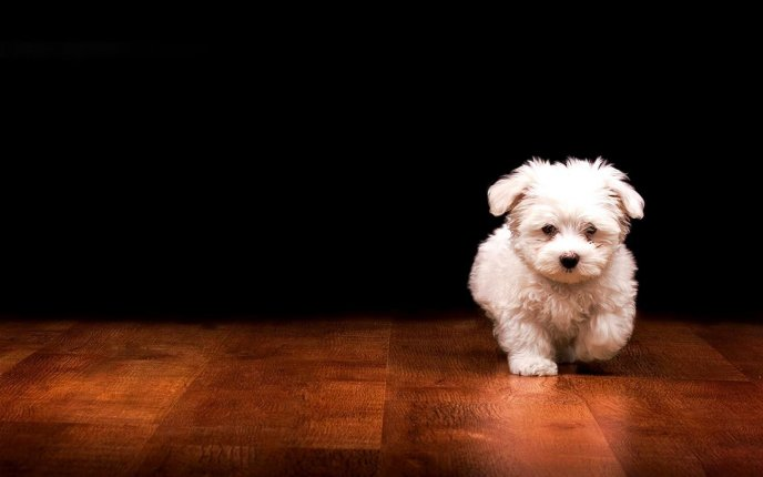 Little white puppy running on the floor - funny animal