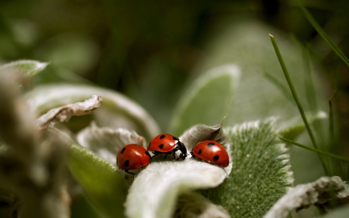 Little ladybugs on the green plant - HD macro wallpaper