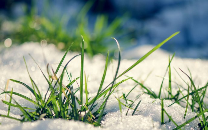 Fresh baby grass out from under the snow - winter and spring