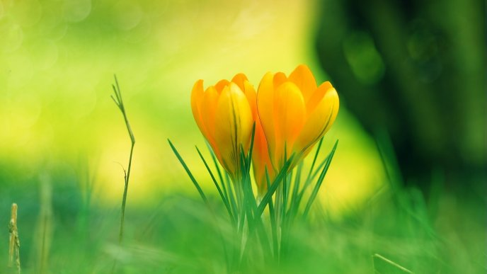 Download Wallpaper Three beautiful yellow tulips in the green garden