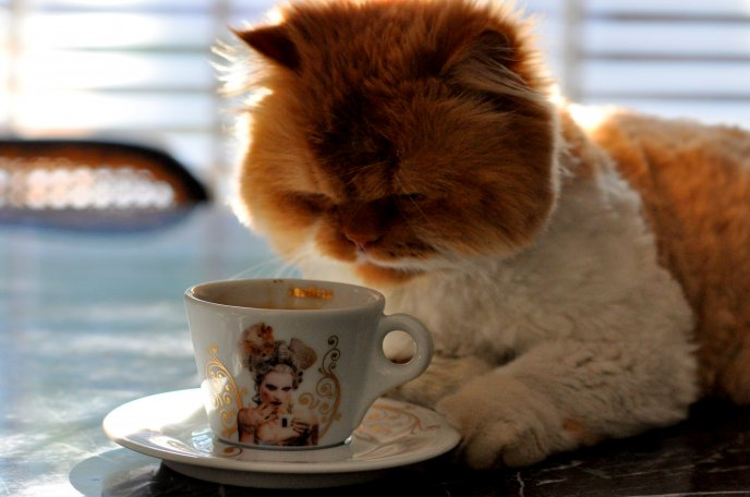 Big fluffy cat drinking coffee in the morning