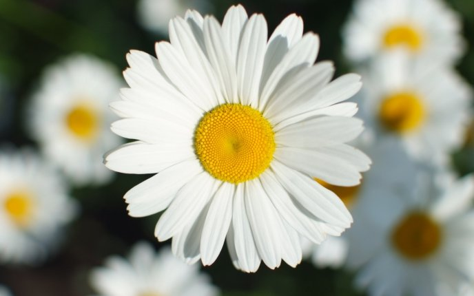 Beautiful daisy - flower perfume in the air