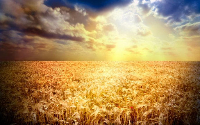 Golden wheat field in the sunset -beautiful nature wallpaper