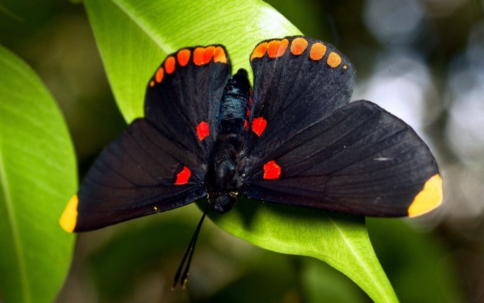 Black butterfly on the green leaf